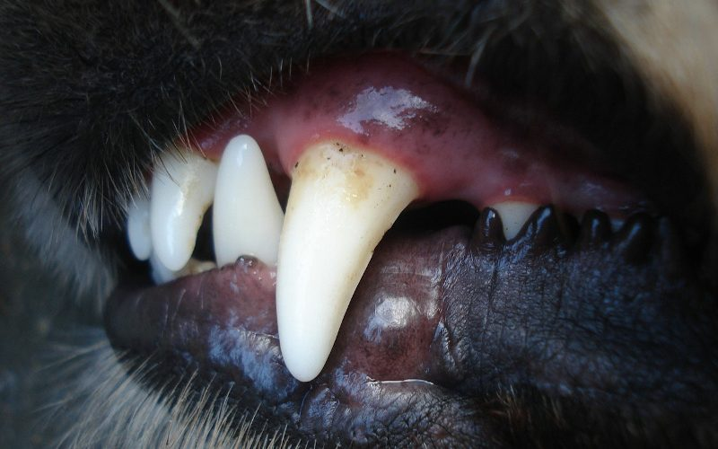 dientes-perro
