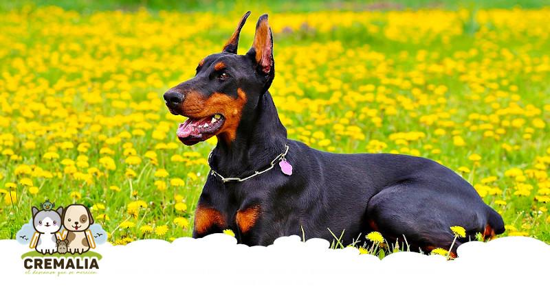 ¿Es bueno cortar las orejas y la cola a un perro?