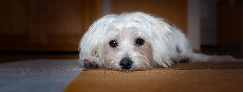 perro-cansado
